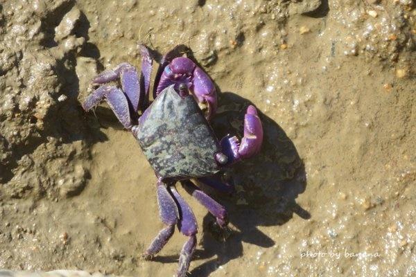 ケアンズ エスプラネード 紫のカニ