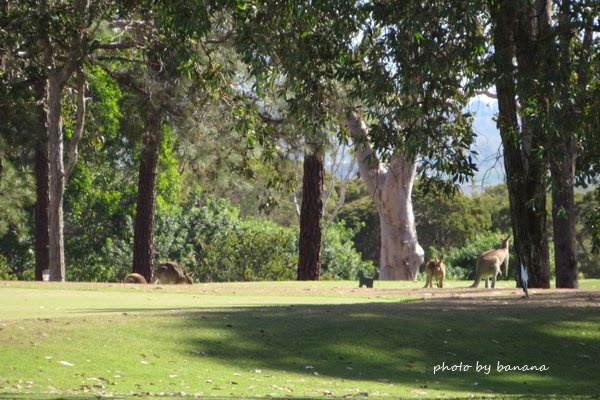 ケアンズ 子供おすすめツアー ジェイさんの動物探検ツアー 野生のカンガルー