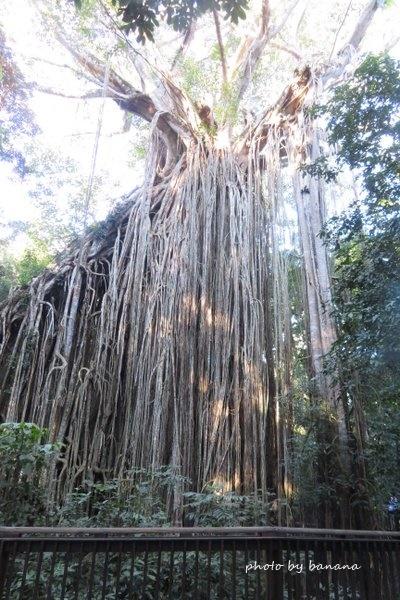 ケアンズ 締め殺しイチジクの木 ジェイさんの動物探検ツアー cairns curtain fig tree