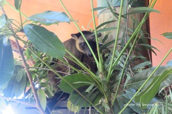 ポートダグラス ワイルドライフ・ハビタット 木登りカンガルー PortDouglas The Wildlife Habitat Tree Kangaroo