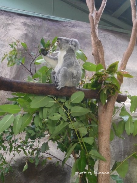 ケアンズ キュランダ観光 レインフォレステーション Rainforestation Nature Park Koara コアラ