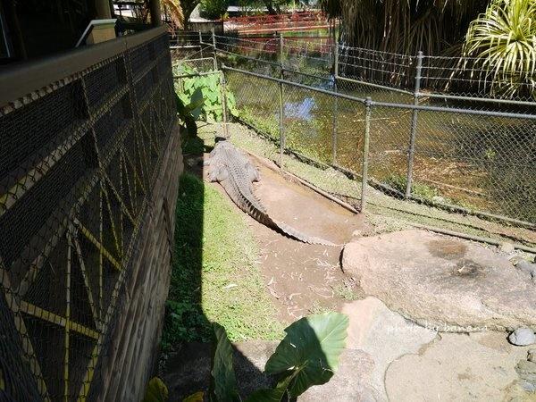 ケアンズ キュランダ観光 レインフォレステーション Rainforestation Nature Park ワニ